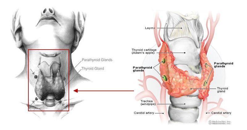 щитовидная железа узлы размеры норма фото